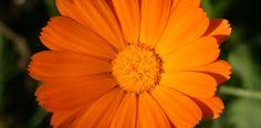 Die wunderschöne Ringelblume (Calendula officinalis) und ihre Heilwirkung in der Phytotherapie, Lesen Sie mehr hier...