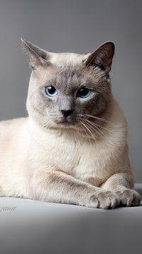 Tajski Kot O Niebieskich Oczach Tapety Na Telefon Tapeciarniapl
