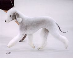 bedlington terrier - Google Search
