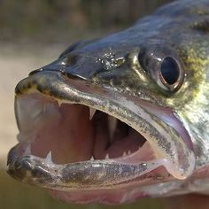 nice Walleye Fishing Tips - Tips on How to Catch Walleye by  http://www.dezdemon-exoticfish.top/walleye-fishing/walleye-fishing-tips-tips-on-how-to-catch-walleye/