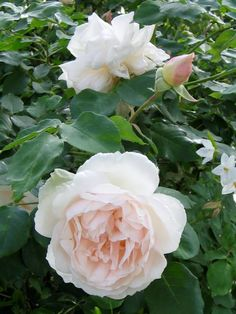Noisette rose 'Madame Alfred Carriere'. Vigorous climber, to 20'. Very fragrant. Nearly thornless. Big display, then more restrained repeat blooming through the season. Hardy to zone 7.
