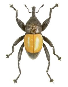 Trigonoplerus maculatus