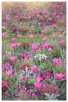 Pink Tulips, Jardin du Luxembourg, Paris