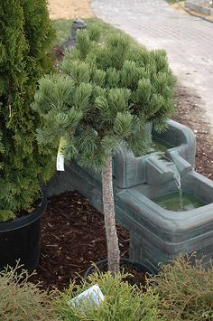 Mugo Pine Free Form (Pinus mugo & pumilio (tree form)& at Bachman& Landscaping Tree Pruning, Cloud Pruning, Mugo Pine, Low Maintenance Shrubs, Dwarf Trees, Landscaping Trees, Balcony Plants, Evergreen Shrubs, Different Plants