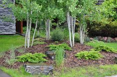 gardening with aspen trees | Deciduous Trees : Aspen 'Multi Stem Trembling Aspen' (back to top)