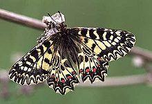 Zerynthia polyxena - Wikipedia, the free encyclopedia