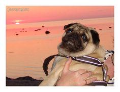 lovely-pug-summer6