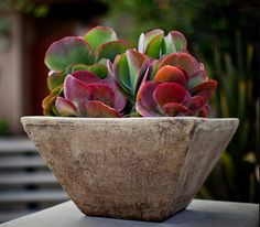 Display 1. The colorful flapjack plant (Kalanchoe luciae) in a patina-toned, cement container.