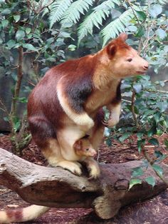 Goodfellows Tree Kangaroo, Scarlet and her new Joey - Animals Unusual Animals, Most Beautiful Animals, Colorful Animals, Strange Animals, Animals And Pets, Baby Animals, Cute Animals, Weird Creatures, Wild Dogs