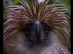 Save the Philippine Eagle!    Support the Philippine Eagle Foundation!        Donations to the Philippine Eagle Foundation (PEF) are welcome.     PEF's contact numbers are (006382) 271-2337 or (006382) 284-0568.        http://www.philippineeagle.org/index    https://www.facebook.com/pages/Philippine-Eagle-Foundation-Official/149246185148978