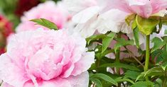 Tree Peony, Growing Tree, Trees And Shrubs, Better Homes, Peonies, Vines, Home And Garden, Gardens, Yard