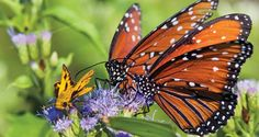 I'll confess. I'm addicted to butterflies. The Texas Butterfly Festival Beginning October 31 and continuing through November 3, butterfly enthusiasts...