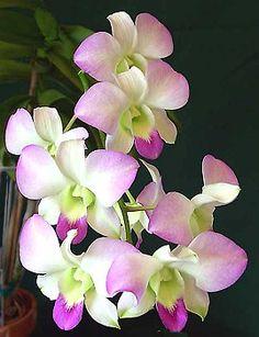Orquídia Dendrobium