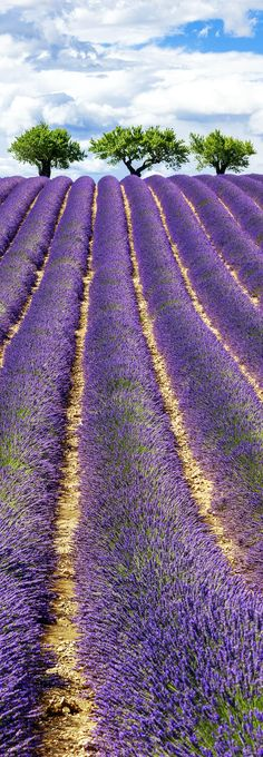 Famous View of Lavender Field with Cloudy Sky in Provence, France