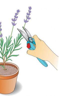 Jungpflanzen mehrmals stutzen    Wenn die jungen Lavendel angewachsen sind…