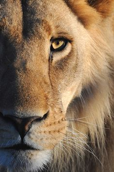 Uploaded by angelysleo. Find images and videos about beautiful, wildlife and majestic on We Heart It - the app to get lost in what you love. Lion Images, Lion Pictures, Lion And Lioness, Lion Of Judah, Beautiful Cats, Animals Beautiful, Cute Animals, Lion Wallpaper, Animal Wallpaper