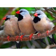 Shafttail finches, an estrildid finch, Australia