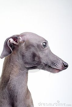 Beautiful Italian greyhound profile