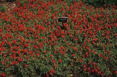 Plant photo of: Helianthemum nummularium
