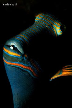Orange stripe triggerfish