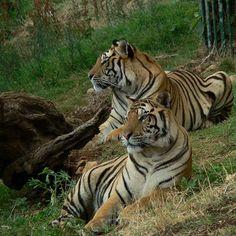 Tigers - Sguardi (Looks)   Flickr - Photo Sharing!