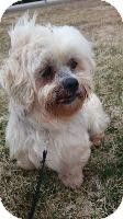 Newcastle, ON - Lhasa Apso. Meet Cricket a Dog for Adoption.
