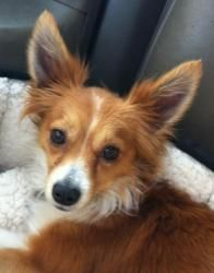 108 Best Dog 3 Images On Pinterest Papillon Dog A Dog And Adoption
