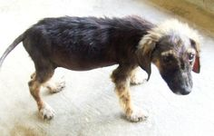 This is Bird Dog when she first came into the Paaws Antigua Shelter in Antigua, West Indies.