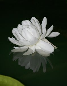 flower of the giant water lily