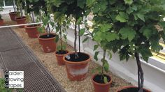 🍇 Tips to growing - grapevine in a pot