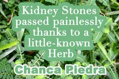 Kidney Stones passed painlessly because of little-known herb, Chanca Piedra