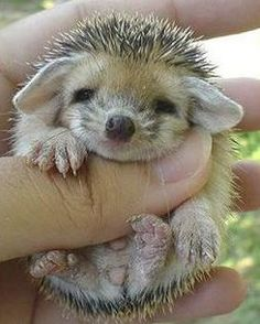 Un piccolo riccio.