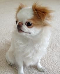 Juliette is an adoptable Japanese Chin Dog in Venice, CA. Juliette Meet sweet little Juliette, a princess in every way. Juliette is a purebred AKC-registered Japanese Chin and she just turned 7 years ...