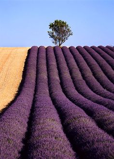 Tree With Lavender, Provence | FRANCE
