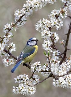 Blue tit in the blossoms 2