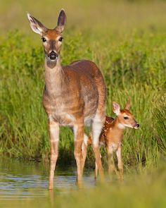 doe standing with fawn in water - much like this photo - River Ridge pond, Lake Ridge, VA 6/9/12