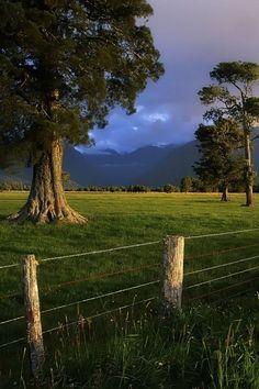 majestic gum trees
