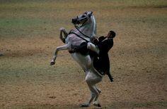 Un caballo se levanta de manos, durante el espectáculo inaugural de la XXV edición del Sicab.