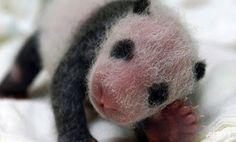 Kina: Rođene prve blizankinje pande začete vještačkom oplodnjom | http://www.dnevnihaber.com/2015/06/kina-rodjene-prve-blizankinje-pande-zacete-umjetnom-oplodnjom.html