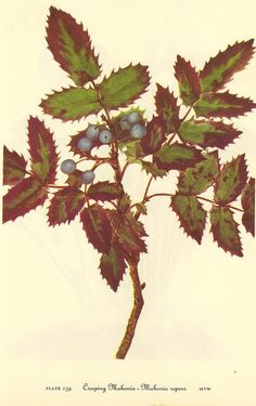 Vintage Botanical Print 1968 Color Wild by NaturalistCollection