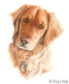 Golden retriever pet portrait in watercolour by Tracy Hall