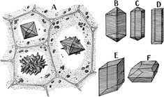 """""""Different forms of crystals of calcium oxalate. A, from the petiole of Begonia manicata. Crystal Drawing, Plant Cell, Begonia, Botany, Clip Art, Crystals, Holiday Decor, Drawings, Crafts"""