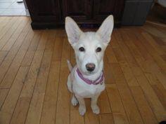 Meet A24797029 - Juliette - Foster, a Petfinder adoptable Husky Dog   Montreal, QC   JulietteAge / Age: 3 mois / 3 monthsRace(s) / Breed(s): Husky Alaskien / Berger Alemand / Alaskan...