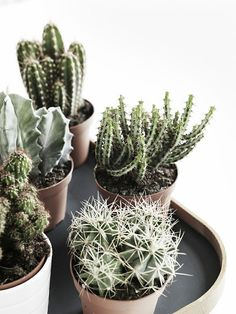 Prickly! | 5 Cactus in a Huddle | | { Houseplants 3 #prickly!