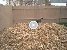 Watch this CRAZY #dog it's the siberian husky playing in leaves
