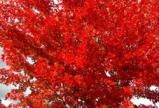 Set Your Fall Yard Ablaze With Autumn Blaze Maple: As the picture shows, this specimen is a fall-foliage standout!