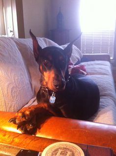 And you were saying... / Dobermans