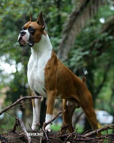 Most Inspiring Brindle Boxer Bow Adorable Dog - 99d2888eb759be1389cb7d89bc2b0771  Trends_654443  .jpg