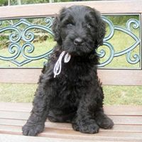 RBT Black Russian terrier pup