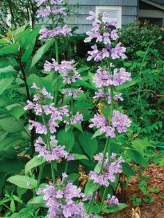 Nepeta Souvenir D'Andre Chaudron- catmint, early to late summer